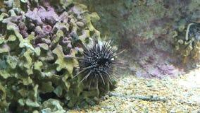 Static wide shot of a sea urchins in an aquarium. Video of static wide shot of a sea urchins in an aquarium stock video