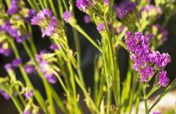 Statice-Blume Stockfoto