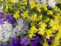 Statice flowers - Limonium Sinuatum Royalty Free Stock Photo