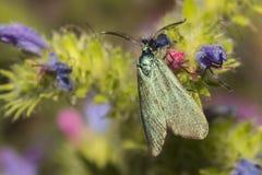 Statices verdes de Adscita da guarda florestal Imagens de Stock Royalty Free