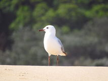 A station on the beach seagull Stock Photography