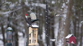 Station de alimentation d'oiseau d'hiver - pivert de Pileated Image stock
