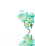 station thermale bleue de fresia de fleur Images libres de droits