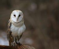 Stationary Barn Owl Stock Image