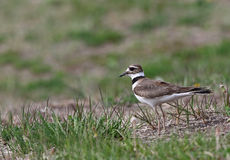 Stationary Killdeer Royalty Free Stock Photos