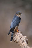 Stationary Merlin. A profile shot of a Merlin Falco columbarius sitting on a branch Stock Images
