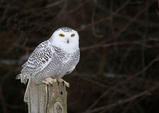 Stationary Snowy Owl Stock Photography