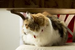 Stationed on a rustic chair, a tricolor cat controls its surroundings in comfort. royalty free stock image