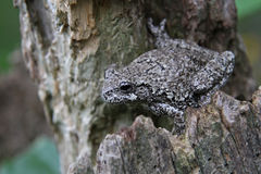 Stationed Tree Frog Stock Photos