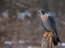 Stationierte Peregrine Falcon Stockfoto