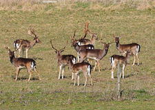 stationnement anglais de troupeau de cerfs communs Images libres de droits