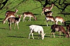stationnement anglais de troupeau de cerfs communs Photo stock