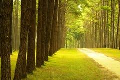 Stationnement de forêt de pin photo stock