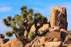 Stationnement national d'arbre de Brevifolia Joshua de yucca de roches photographie stock