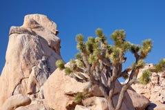 Stationnement national d'arbre de Joshua de montée de roche Photographie stock