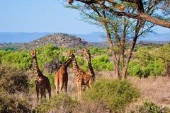 stationnement national de giraffe animale Image libre de droits