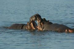 Stationnement national de HippopotamusKruger Images libres de droits