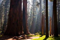 Stationnement national de séquoia Images libres de droits