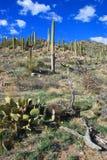Stationnement national de Saguaro Image libre de droits