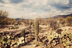 Stationnement national de Saguaro Photographie stock libre de droits