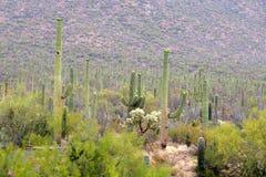 Stationnement national de Saguaro, Etats-Unis Photos libres de droits