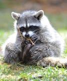 Stationnement national de yellowstone de chat sauvage nord-américain, Idaho Images libres de droits