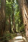 Stationnement national en bois de Muir Image libre de droits