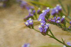 Statis fleurit en nature, Mykonos, Grèce Photos stock