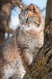Stativ för Bobcat (lodjurrufus) på Branch i Tree Arkivfoto