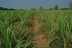 Stato del giacimento della canna da zucchero Fotografia Stock Libera da Diritti