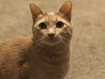 Stattliche Katze Lizenzfreie Stockfotografie