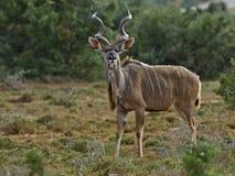 Stattliches Addo Kudu Stockfotografie