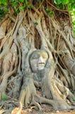 Statua della testa del ` s di Buddha nella radice di grande albero Fotografie Stock Libere da Diritti