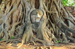 Statua della testa del ` s di Buddha nella radice di grande albero Fotografia Stock