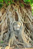 Statue of Buddha`s head in the root of large tree Royalty Free Stock Photos