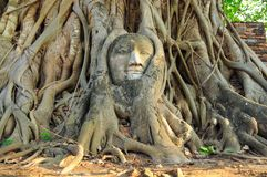 Statue of Buddha`s head in the root of large tree Stock Photography