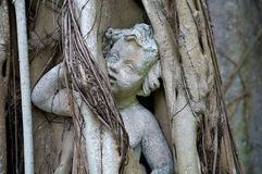 Statue of cherub trapped in banyon tree Stock Image