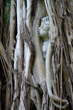 Statue of child trapped in banyon tree. A statue of a child or cherub is engulfed by the roots of a banyon tree that has grown up around it Royalty Free Stock Photo