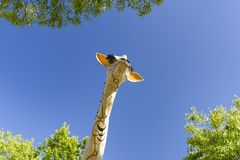 A giraffe in the city Stock Image