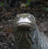 Statue of a Komodo Dragon - Varanus komodoensis Royalty Free Stock Photo