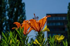 Orange flowers on a city bed against the background of a high-rise building. Life in the city royalty free stock photography