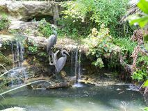 Statues of two Great Blue Herons by a pool. Statues of two Great Blue Herons grace the edge of this tropical pool and small waterfall royalty free stock photos