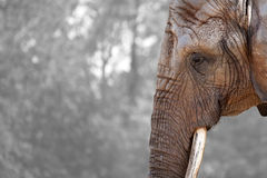 Statuesque Elephant Stock Images