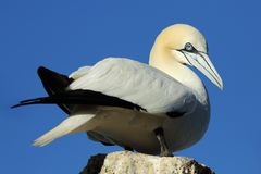 Statuesque Gannet Stock Photos