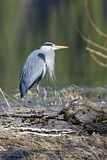 Statuesque heron. Royalty Free Stock Photos