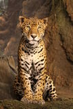 Statuesque Leopard stock photography