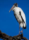 Statuesque wood stork raises leg on branch Royalty Free Stock Photos