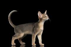 Status Abyssinian Kitten Looking bij juist en het Opheffen op staart royalty-vrije stock fotografie