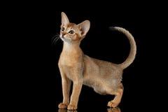 Status Abyssinian Kitten Looking bij linker en het Opheffen op staart royalty-vrije stock foto