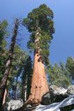 Status naast de Sequoia royalty-vrije stock afbeelding